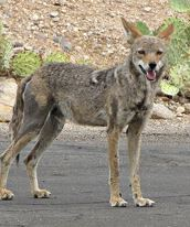 coyotepic